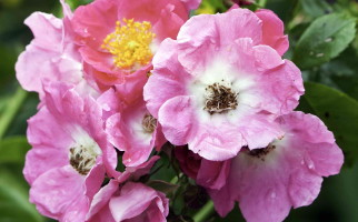Роза морщинолистная, шиповник