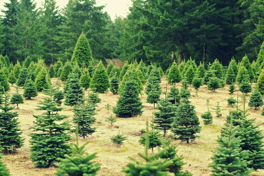 елки в горшках